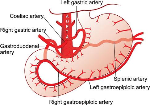 left gastric artery agenesia